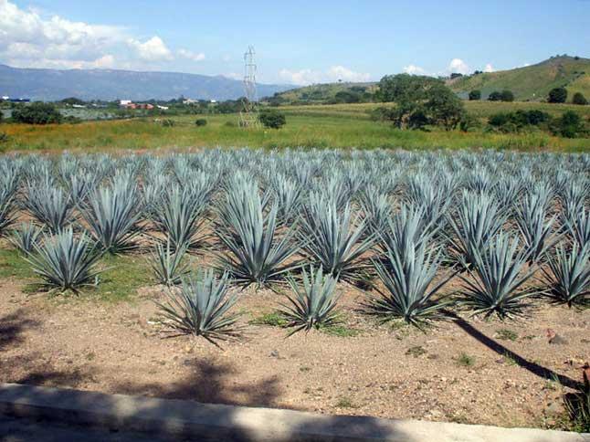 Campos de agave en Tequila
