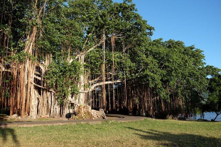Banyan Tree. Isla Mauricio