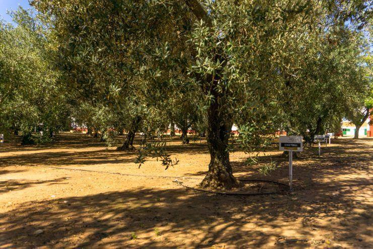 Olivoteca de la Hacienda Guzmán