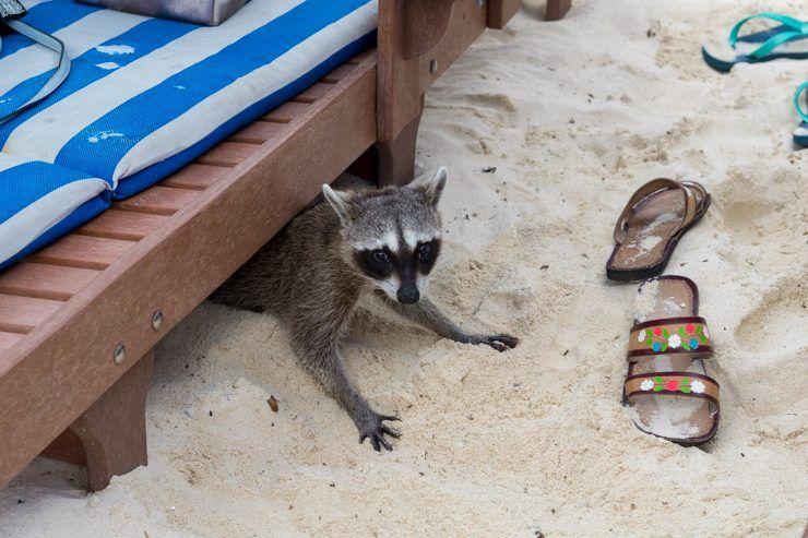 mapache en la playa