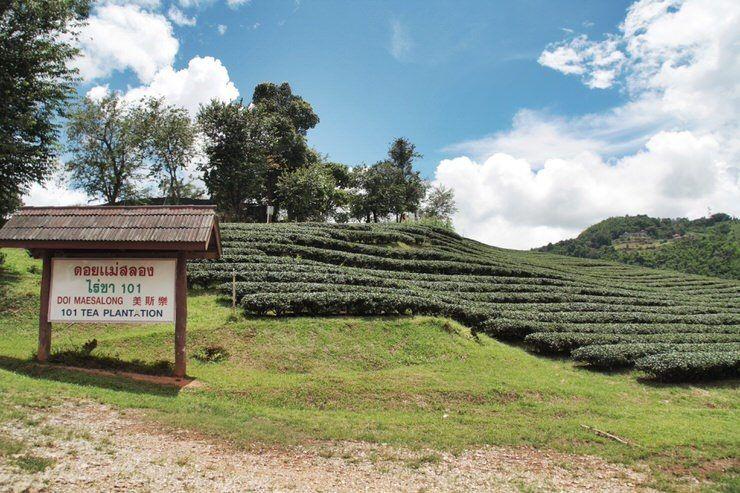 Plantaciones de te en Mae Salong